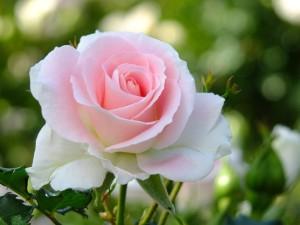 rose0001