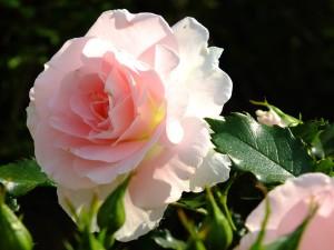 rosetsu0024