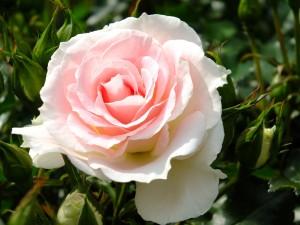 roza0014